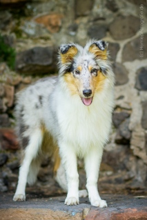 Hundefotografie_Tierfotografie_Gaia_Rough_Collie_Langhaarcollie_bluemerl...