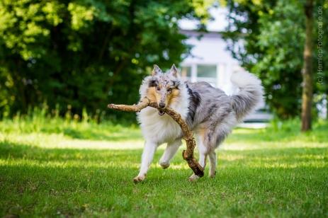 Hundefotografie_Tierfotografie_Hund_Langhaarcollie_Collie_Rough_bluemerl...