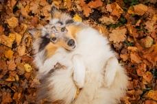 Hundemaedchen_Gaia_Langhaarcollie_Collie_Rough_bluemerle_Hundefotografie...