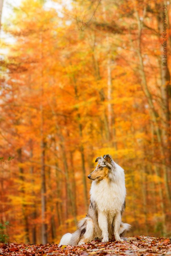 Langhaarcollie_Rough_Collie_Gaia_bluemerle_Hundefotografie_Tierfotografi...
