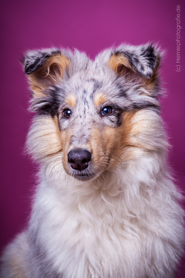 Langhaarcollie_Rough_Collie_Gaia_bluemerle_Welpe_Puppy_Baby_Weibchen_Stu...