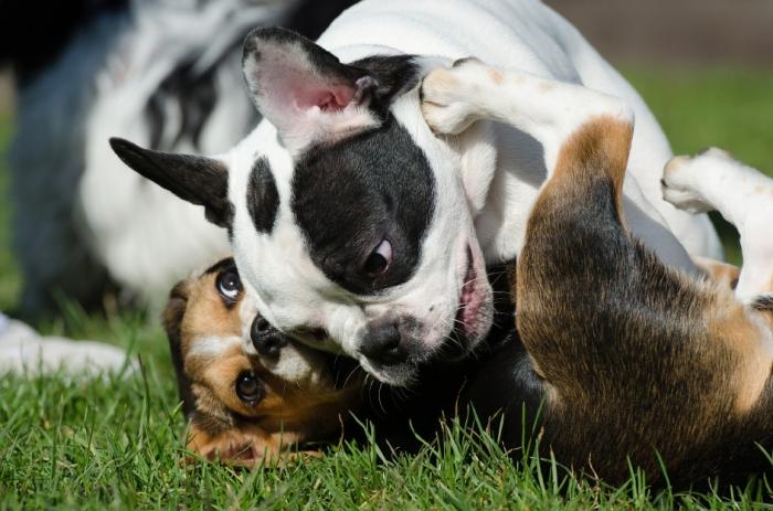 french-bulldog-662818_1920