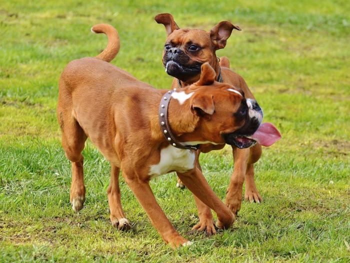 boxer-dogs-1321226_1920